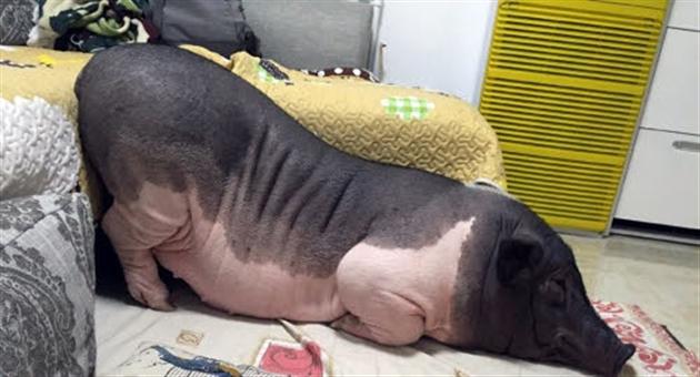 elle partage son lit avec un cochon de 82kg photos rtl people. Black Bedroom Furniture Sets. Home Design Ideas