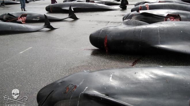 Massacre des dauphins aux îles Féroé: le touriste qui ne collabore pas risque la prison, selon les écologistes de Sea Shepherd Global