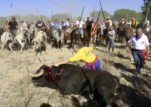 Espagne: les fêtes traditionnelles accusées de maltraitance animale