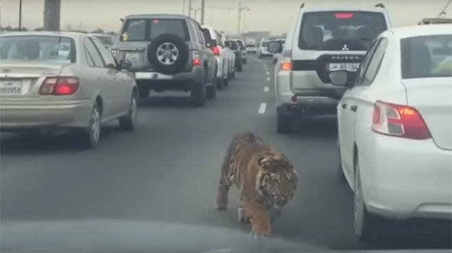 Un Tigre Film En Train De Se Promener Au Milieu Des