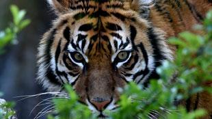 Afrique du Sud: un enfant français de 10 ans blessé par un tigre