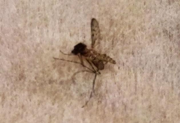 non ces insectes que vous avez photographi s ne sont pas des moustiques tigre comment les. Black Bedroom Furniture Sets. Home Design Ideas