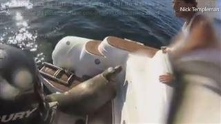 Un phoque échappe à des orques affamées en grimpant sur un bateau de touristes- C'est un vrai survivant! (vidéo) 4