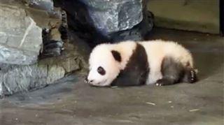 Baby P, le petit panda de Pairi Daiza, aura bientôt un prénom- c'est vous qui pouvez le choisir, voici comment 5
