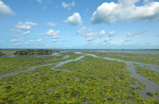 Les algues vertes ont-elles causé la mort d'un homme — Bretagne