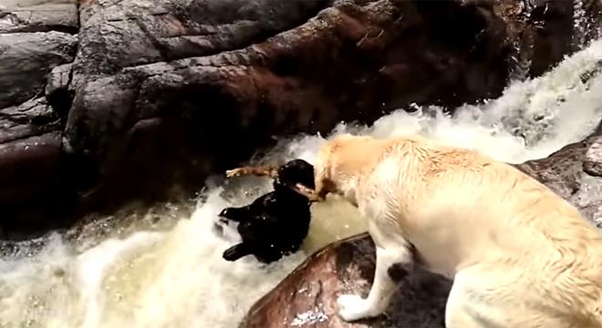 Un labrador sauve un chien de la noyade (vidéo) - RTL People