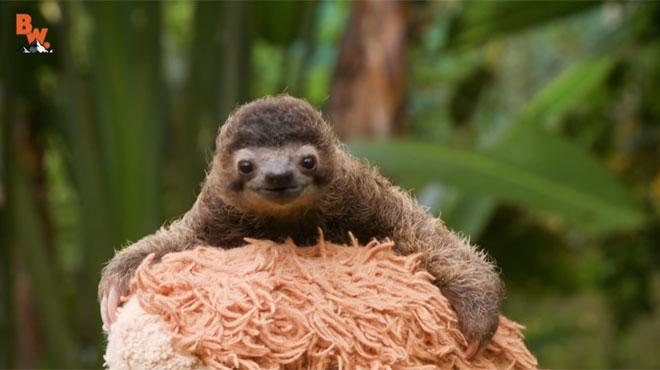 ce petit paresseux est sans doute l 39 animal le plus mignon que vous n 39 avez jamais vu attendez de. Black Bedroom Furniture Sets. Home Design Ideas
