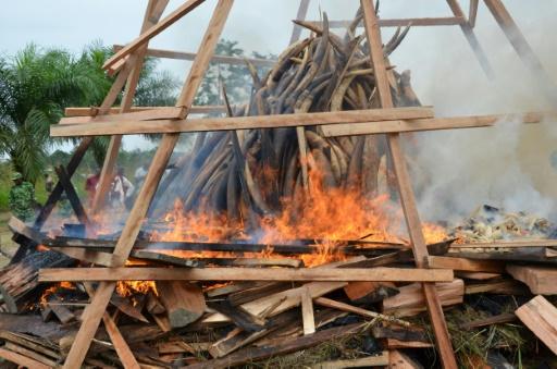 Les braconniers ont tué 80 % des éléphants dans une réserve du Gabon
