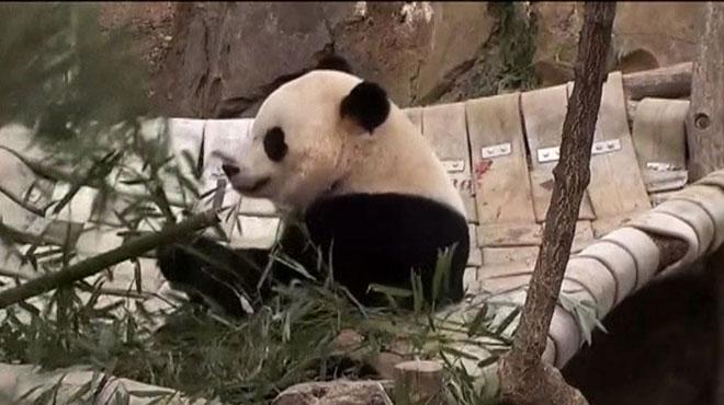 Adieux déchirants au zoo de Washington: