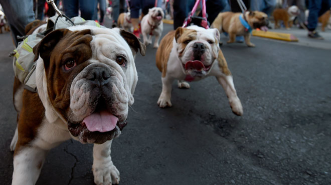 Trapus, les babines pendantes, 950 bulldogs dans les rues de Mexico