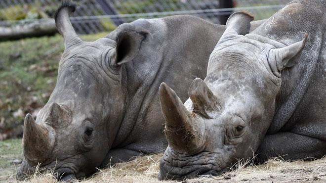 Si les zoos ne se protègent pas mieux, le braconnage continuera: et en Belgique?