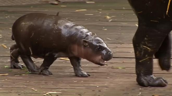Vous allez craquer: ce bébé hippo s'éclate dans l'eau avec sa maman
