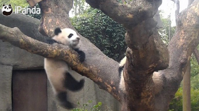 Grosse stupeur pour ce bébé panda: pourquoi glisse-t-il de sa branche?