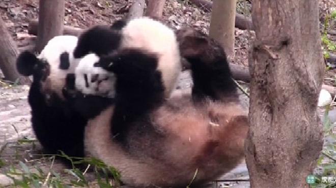 Juste pour le plaisir: ces adorables pandas vont vous donner la pêche