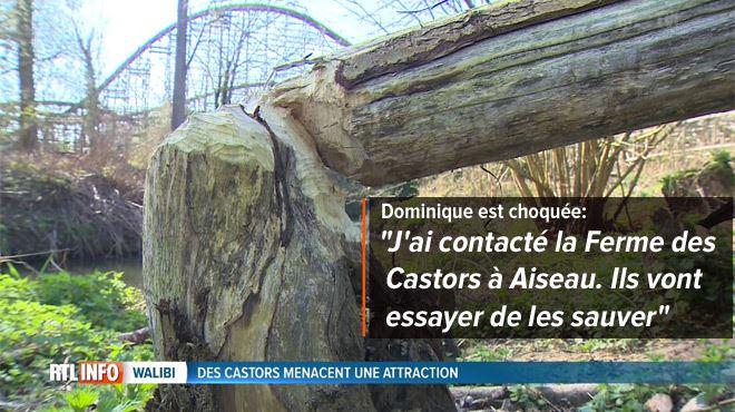 Une famille de castors bientôt euthanasiée près de Walibi- elle menace la structure du 'Loup-Garou' 1