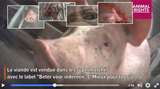 Images d'horreur dans un abattoir en Flandre- l'usine veut montrer son respect pour le bien-être de tous nos animaux 5