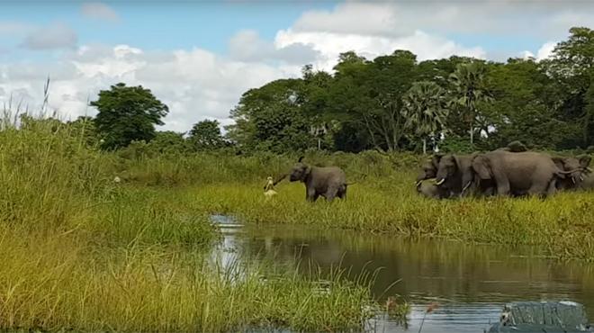 Un crocodile attaque un bébé éléphant, le troupeau prend peur… puis réplique (vidéo)
