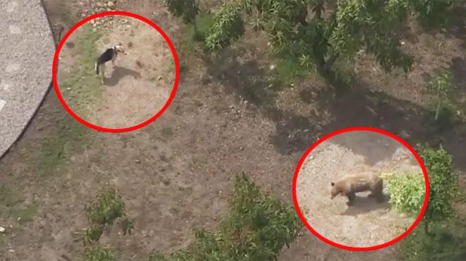 Un ours pénètre dans le jardin de ce chien: comment va-t-il réagir? (vidéo)