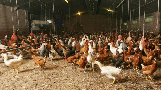La grippe aviaire présente dans trois fermes luxembourgeoises — Agriculture