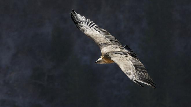 Des vautours fauves, l'un des plus grands rapaces du monde, observés dans le ciel belge