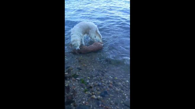 Un chien sauve un faon de la noyade — New-York