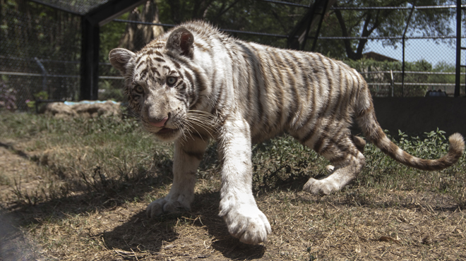 André-Pierre Gignac a maintenant un tigre a son nom